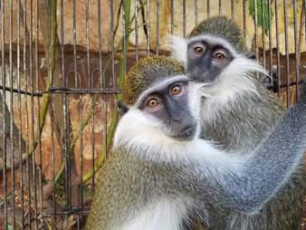 Rescued pet monkeys