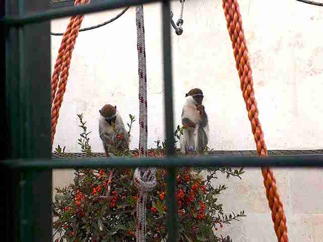Monkeys in new home after rescue