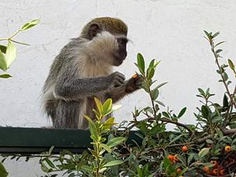 Rescued monkey in new enclosure with fruit