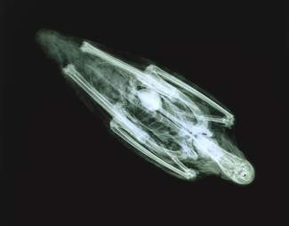 CT scan of ibis mummy
