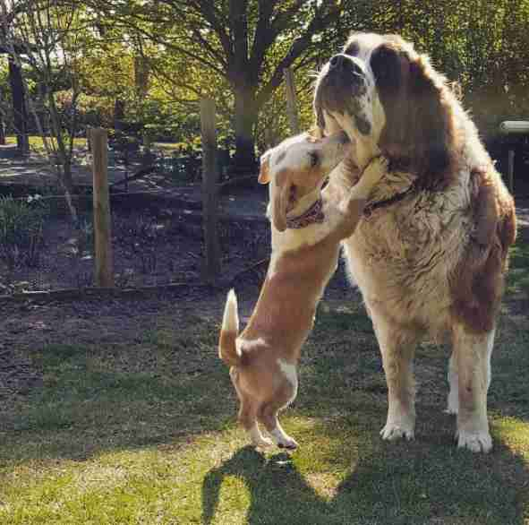 Little dog standing up to kiss big dog
