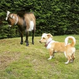 A little dog watching a donkey