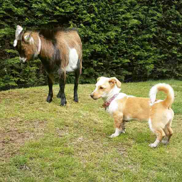A little dog watching a donkey