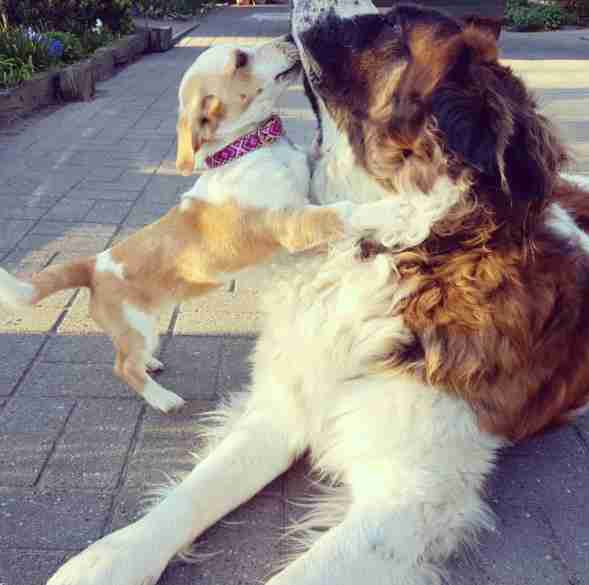 Little dog kissing large Saint Bernard dog