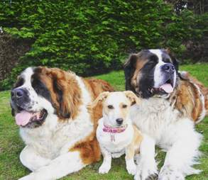 Tiny rescue dog sitting between two Saint Bernard dogs