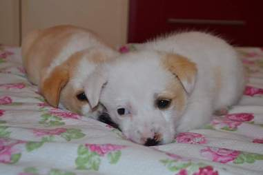 Scared looking puppies on a floral bedspread
