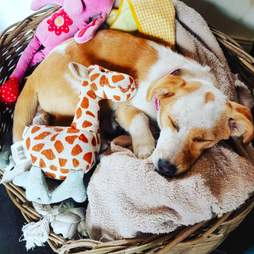 Little dog sleeping in basket with stuffed giraffe