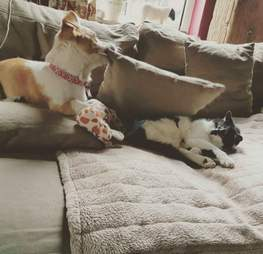 Dog and cat sharing a couch