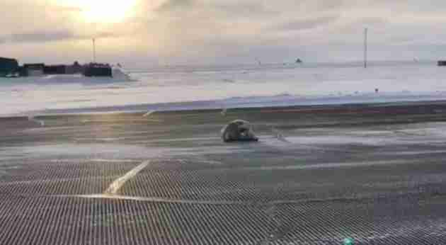 seal on airport runway in Alaska