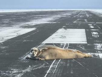 seal on airport runway in Alaska
