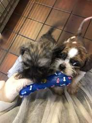 Puppies Perdy and Pippin play with chew toy