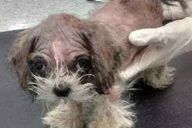 Pippin the Lhasa apso puppy after he was found in Bradford garden