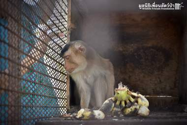 Pet macaque in Thailand before rescue