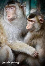 Rescued macaque BFFs at Thailand sanctuary