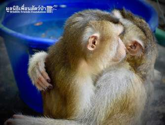 Rescued macaque BFFs hug at Thailand sanctuary