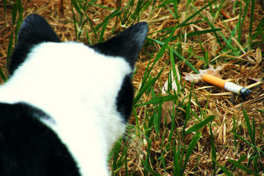 Black and white cat with cigarette butt