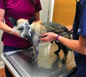 Rescue dog being examined at vet