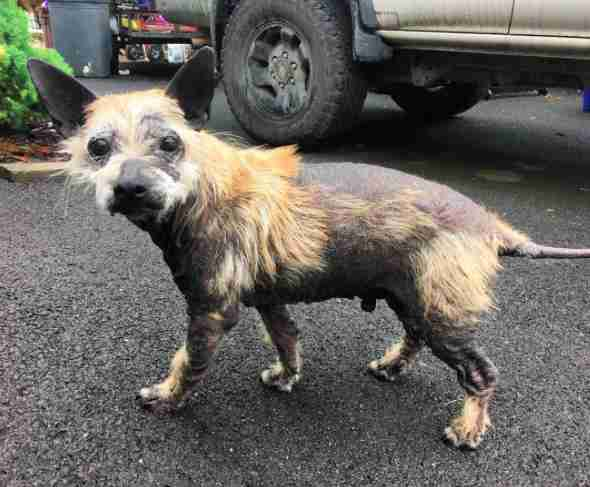 Rescue dog with missing fur on road