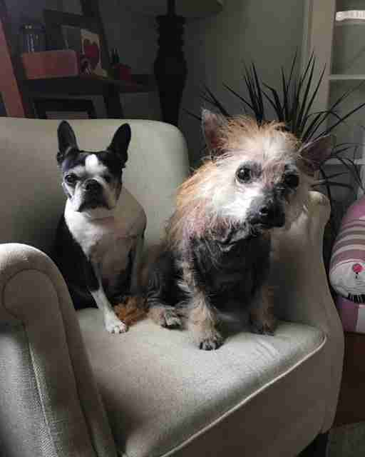 Two terrier rescue dogs sharing a chair