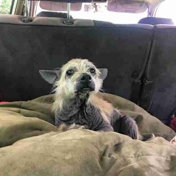Rescue dog with missing fur inside car