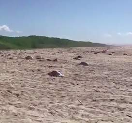 Sea turtles nesting in Mexico under armed guard's watch