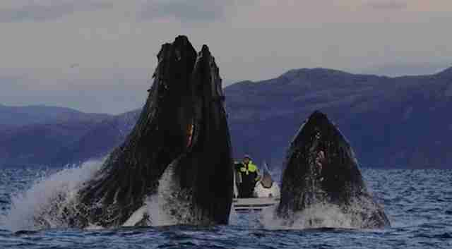 Cameraman filming humpback whale in Norwegian sea