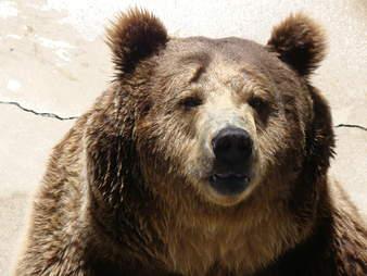 bear at Cherokee Bear Zoo