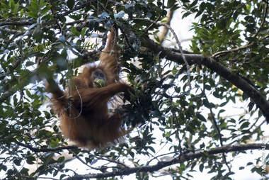 Newly discovered Tapanuli orangutan in Indonesia