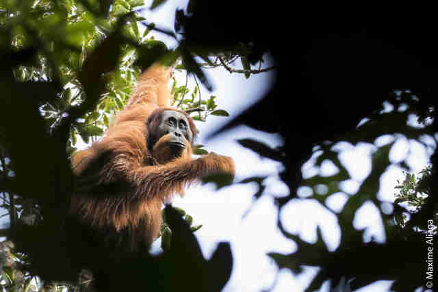 Newly discovered Tapanuli orangutan in Indonesia