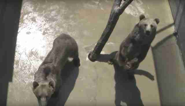 grizzlies at Cherokee Bear Zoo