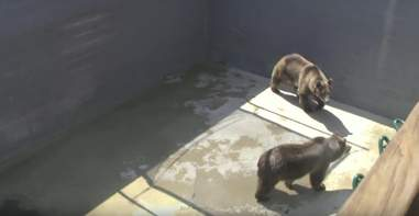 grizzlies at Cherokee Bear Zoo