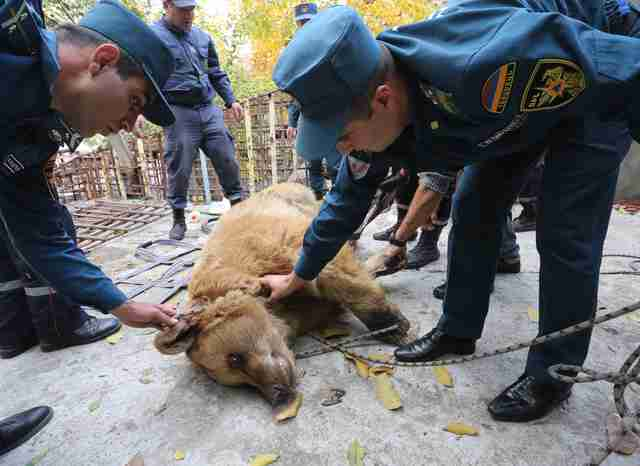Rescuers hauling a brown bear out of his enclosure