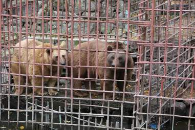 Two brown bears in tiny cage above river