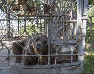 A captive brown bear staring out of his cage