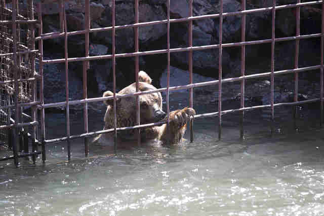 Brown bear inside cage submerged in the river