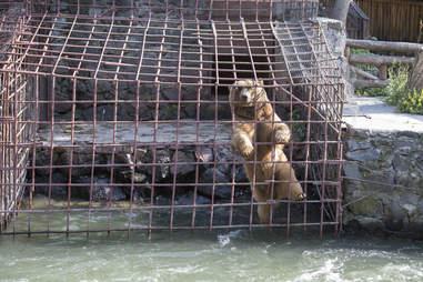 Captive bear inside his tiny enclosure