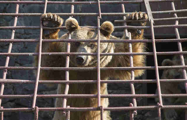 Brown bear holding onto the bars of his cage in frustration
