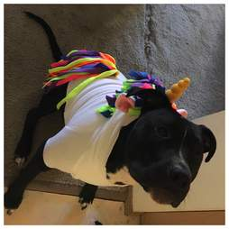 pit bull wearing a unicorn costume