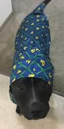 pit bull wearing a raincoat
