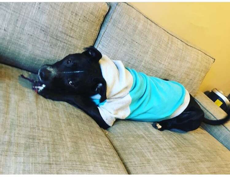 pit bull wearing a hoodie