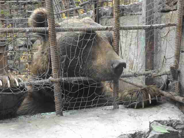 Captive brown bear staring out through bars of cage