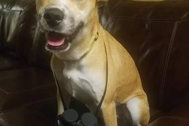 Foster dog Bayley with binoculars