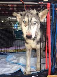 Rescued husky in crate