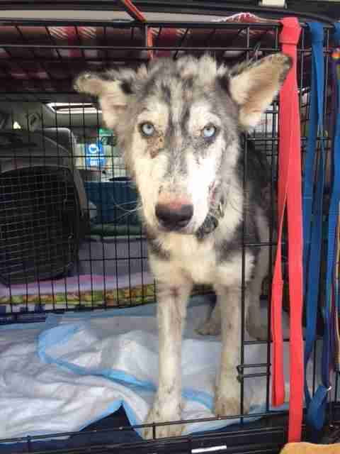 Rescued husky in crate