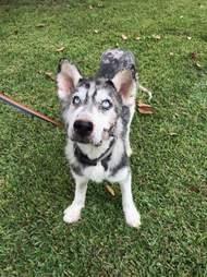 Rescued husky in grassy yard