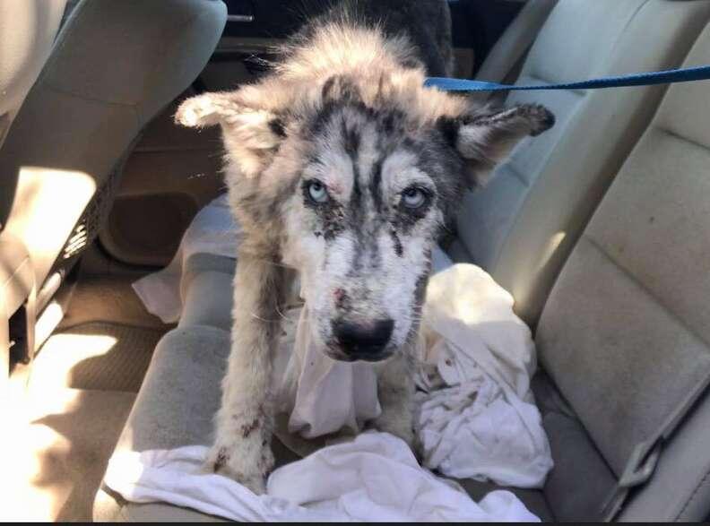 Sick husky inside car after being rescued