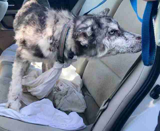 Sick husky inside car after being rescued