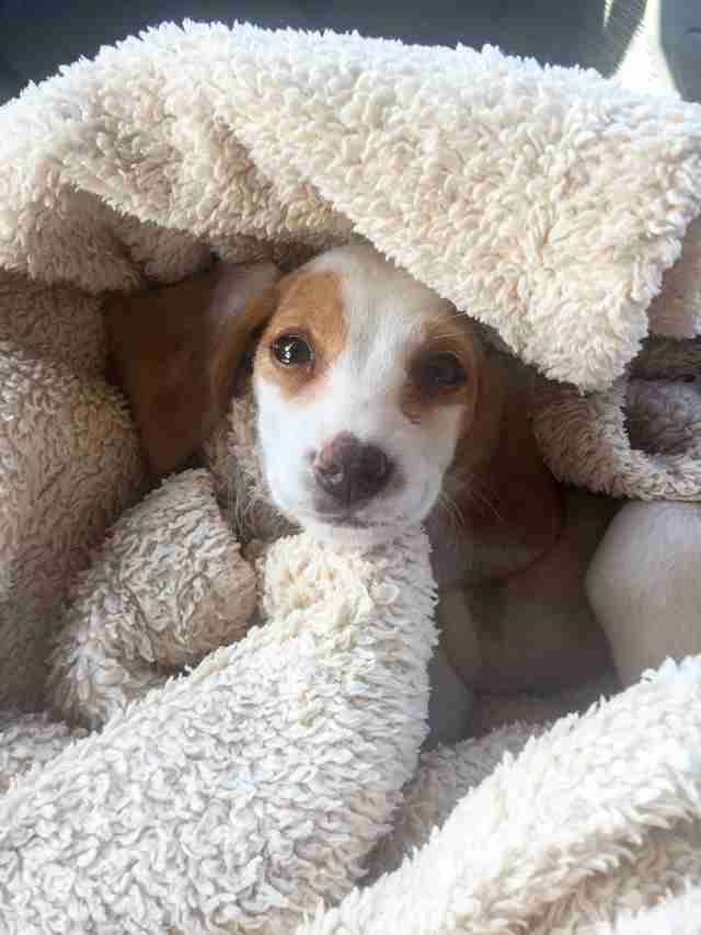 beagle rescue puppy mill colorado