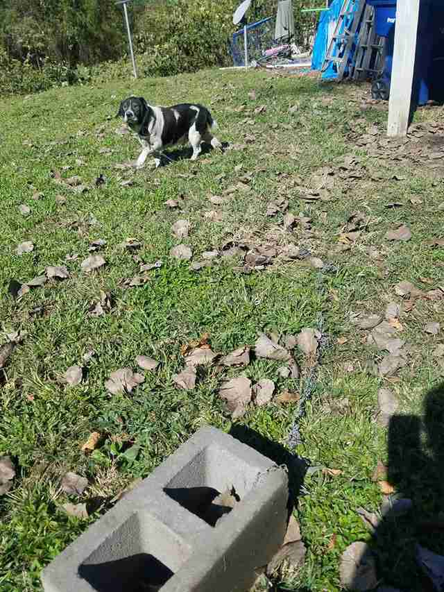 Senior dog chained to a cinderblock