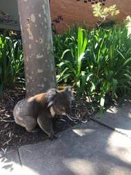 Koala crashes real estate open house